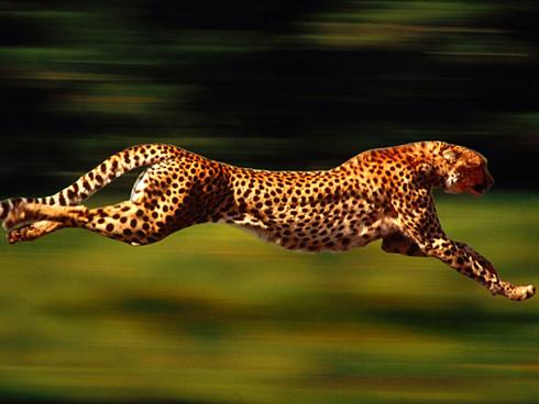 01-cheetah-running-small
